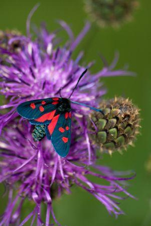 Burnet moth on the centaury flower Stock Photo - 4165258