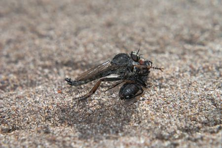 The grey predatory robber fly with prey Stock Photo