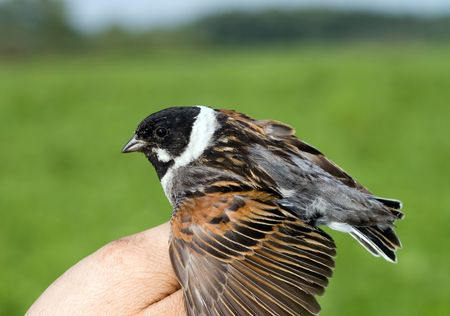 The reed bunting on the mans palm during the ringing Stock Photo