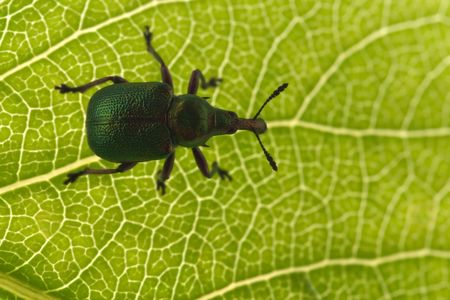 nervation: Byctiscus populi, the poplar leaf roller bug Stock Photo