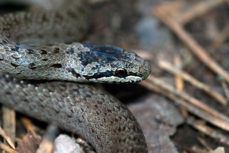 The grey grass-snake on the forest floor