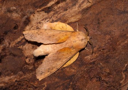 The lappet moth sitting on the pines bark