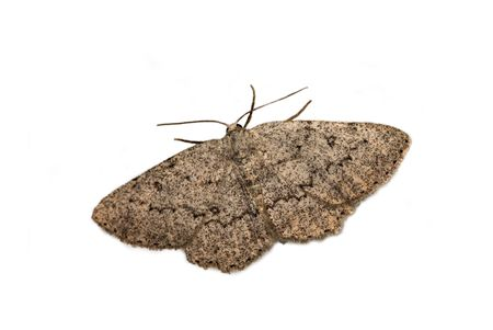 The geometrid moth on the white background