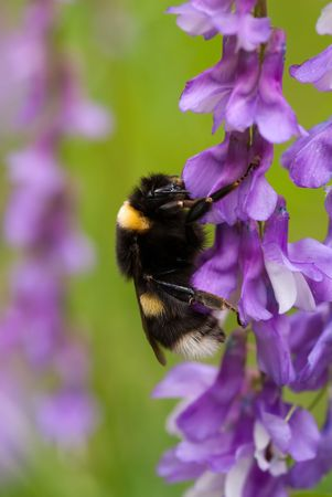 bumblebee on the flowers of wild vetch Stock Photo
