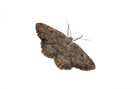 The geometrid moth on a white background