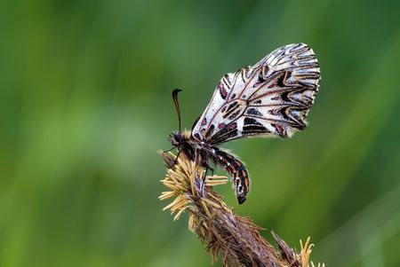 swallowtail butterfly Zerynthia polyxena on the blossoming cone of gramineous herb
