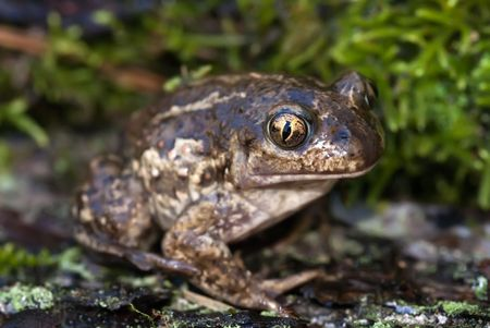 spade footed toad sitting on the moss