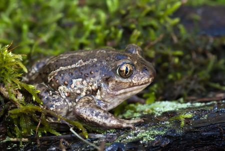 spade footed toad sitting on the moss Stock Photo - 4422173