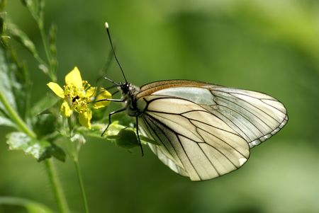 blackvein butterfly feeding on the yellow flower                  Stock Photo