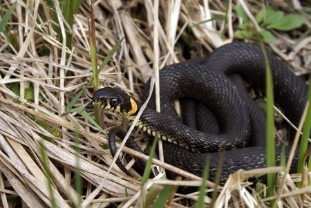 black water snake sitting in the dry grass photo
