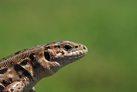 lacerta: lizard Lacerta agilis on the green background                   Stock Photo