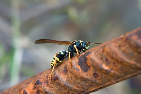 wasp sitting on the rusty metal rod