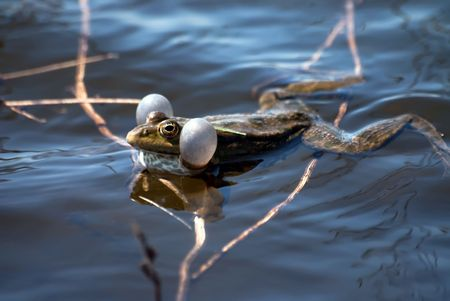 croacking frog male sitting in the water Stock Photo