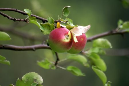 the branch of apple tree with two apples