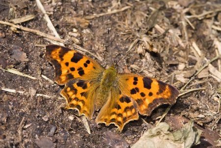The comma butterfly sitting on the ground