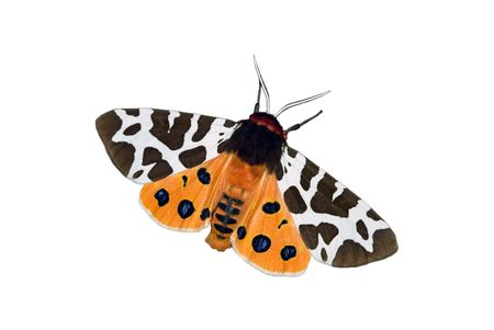 garden tiger moth on a white background