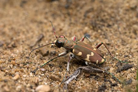 bronzy: The tiger beetle sitting on the ground