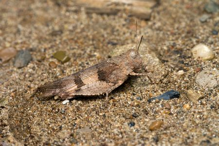 concealment: blue winged grasshopper sitting on the ground