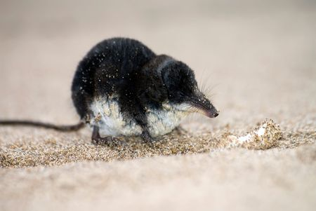 brown-toothed Eurasian water shrew sitting on the sand
