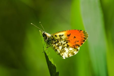 Anthocharis cardamines orangetip butterfly sitting on the blade photo