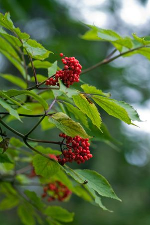 The branch of red elder berry tree Stock Photo