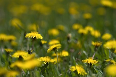 The green meadow with yellow blooming dandelions