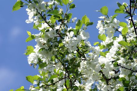 The branch of blossoming apple tree on the sky background