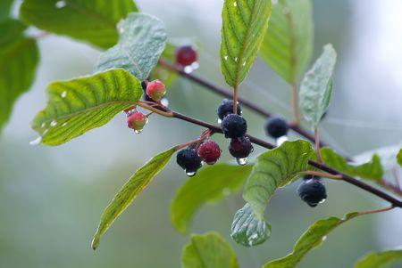 purgative: The alder buckthorn berries over blue background