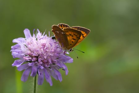 scarce copper sitting on the scabious flower photo