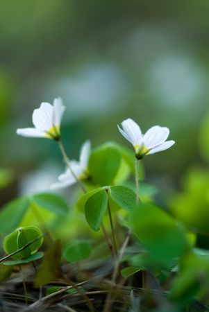 sour clover: High resolution vertical image of  oxalis flower