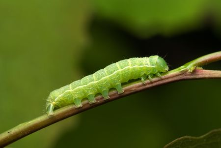 The noctuid caterpillar crawling on the branch