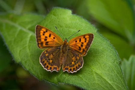 scarce copper sitting on the leaf Stock Photo