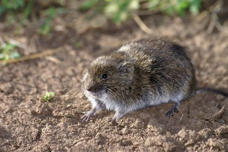 The field vole sitting on the ground