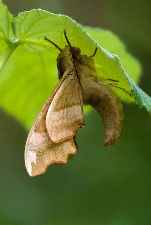 tiliae: Sphinx moth sitting on the raspberry leaf Stock Photo