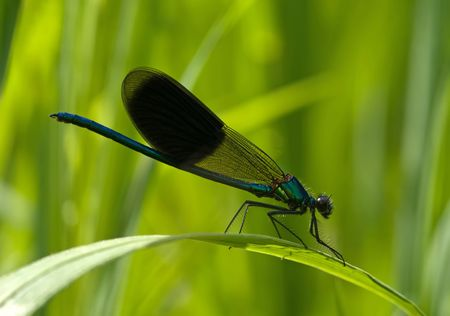 The blue damselfly sitting on the blade Stock Photo