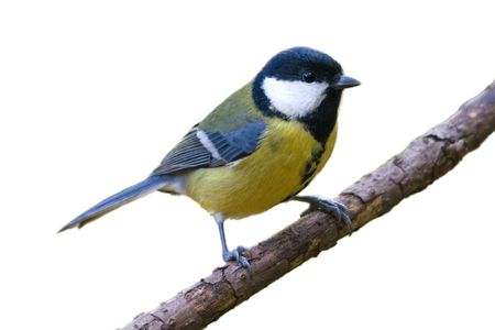The great tit sitting on the branch