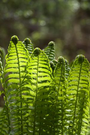 buckler: The fern leaves on the sunlight glares background