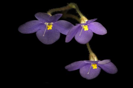 Triple flowers of african violet over black photo