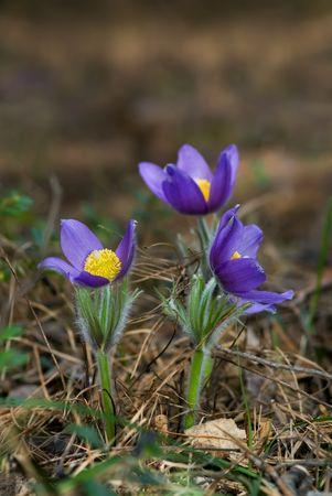 mayflower: Three beautiful blossoming wild pasque flowers Stock Photo