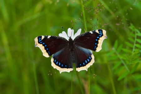 The mourning-cloak butterfly sitting on the flower Stock Photo - 6258190