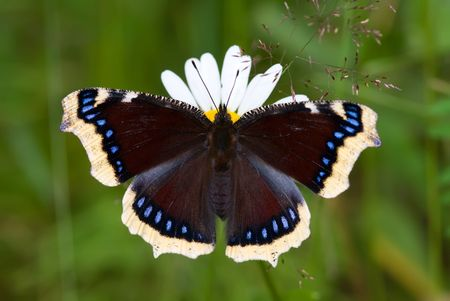 The mourning-cloak butterfly sitting on the flower Stock Photo - 6288636
