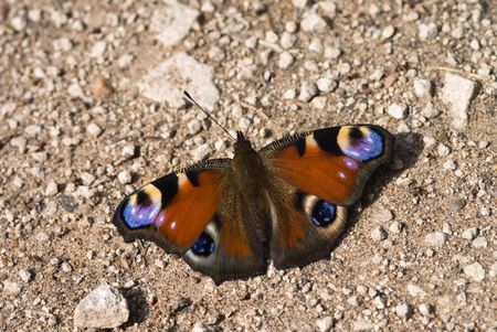 The peacock butterfly sitting on the ground