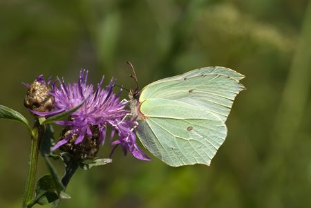Brimstone butterfly sitting on the centaury flower photo