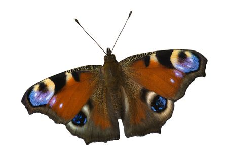 The peacock butterfly on the white background