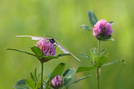 The blackvein sitting on the clover flower Stock Photo - 7350237