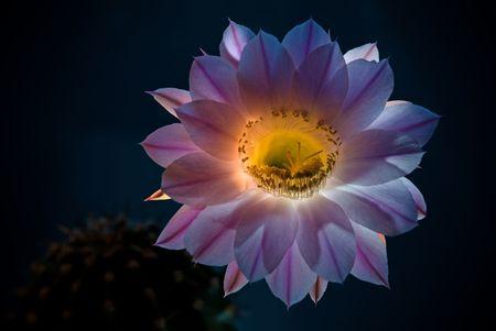 The blossoming cactus Echinopsis on dark background Stock Photo