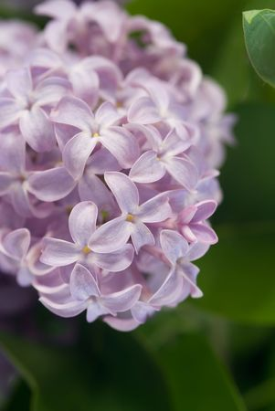 The blossoming brunch of purple lilac flowers Stock Photo - 7430866