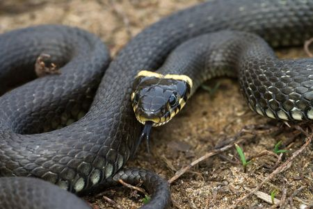 black water snake sitting on the ground