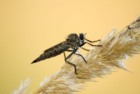 gramineous: The robber fly sitting on the herb Stock Photo