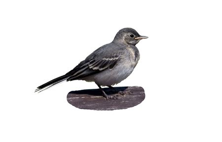 The baby bird wagtail over white background